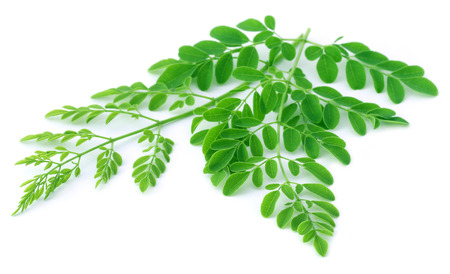 sajna: Moringa leaves over white background Stock Photo