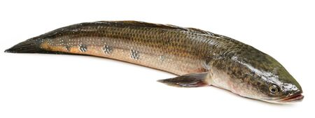 snakehead: Channa marulius or Giant Snakehead known as gozar fish in Bangladesh