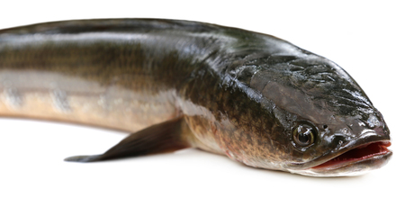snake head fish: Channa marulius or Giant Snakehead known as gozar fish in Bangladesh
