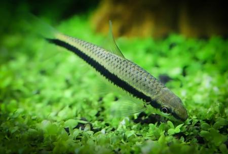 tropical fresh water fish: Siamese algae eater in planted aquarium Stock Photo