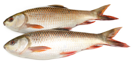 padma: Popular Rohu or Rohit fish of Indian subcontinent over white background