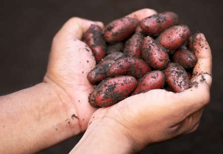 harvested: Hand holding newly harvested potatoes Stock Photo
