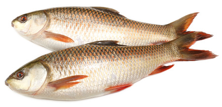 festival scales: Popular Rohu or Rohit fish of Indian subcontinent over white background