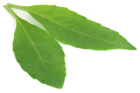 longevity medicine: Gynura procumbens known as longevity spinach used as herbal medicine for many diseases Stock Photo