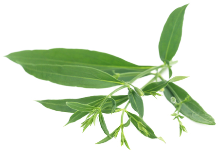 Ayurvedic medicinal Chirata leaves over white background