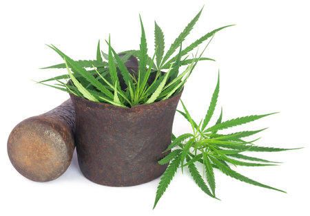 Cannabis or marijuana leaves in a vintage mortar with pestle over white background
