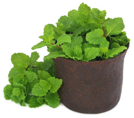 Bunch of mint leaves in a mortar over white background