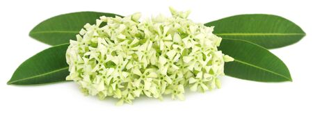 perfumed: Flowers of Alstonia scholaris commonly called blackboard tree or devil tree