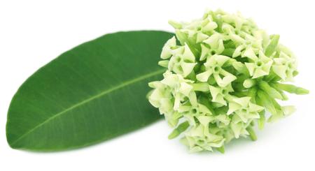 Flowers of Alstonia scholaris commonly called blackboard tree or devil tree