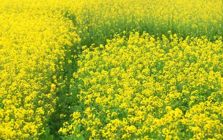 rural area: Mustard field in rural area of Bangladesh Stock Photo