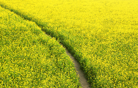 mustard field: Mustard field in rural area of Bangladesh Stock Photo