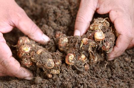 fertile land: Kaempferia galanga known as aromatic ginger in soil