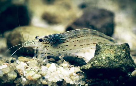 aquarist: Amano shrimp named after the famous Japanese aquarist Takashi Amano