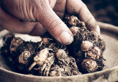 Kaempferia galanga known as aromatic ginger in soil