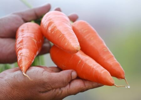 Newly harvested fresh organic carrots in hands Stock Photo