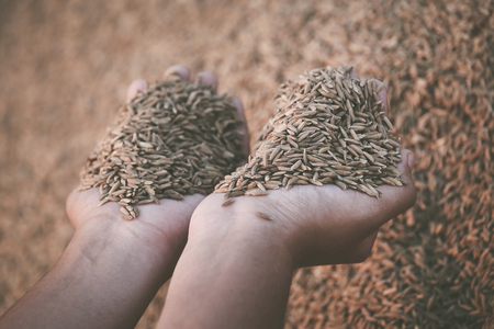Hand holding newly harvested paddy seeds in Indian subcontinent Stock Photo