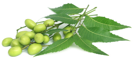 Medicinal neem leaves with fruits over white background
