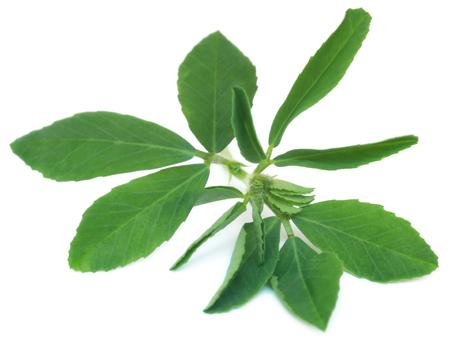 Ajurwedyjskie liście kozieradki na białym tle Zdjęcie Seryjne