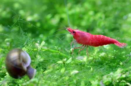 freshwater snails: Male cherry shrimp in a planted aquarium