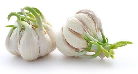 Garlic germinated over white background