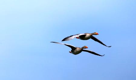 Greylag goose in flight spreading wings