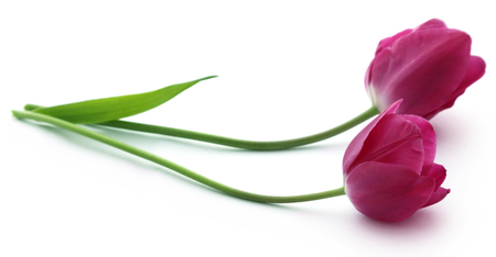 Closeup of Tulip flower over white background