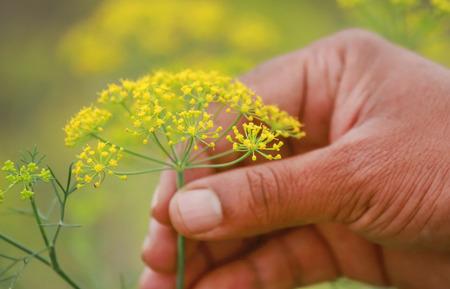 Fennel flowers in a crop field ouddoor