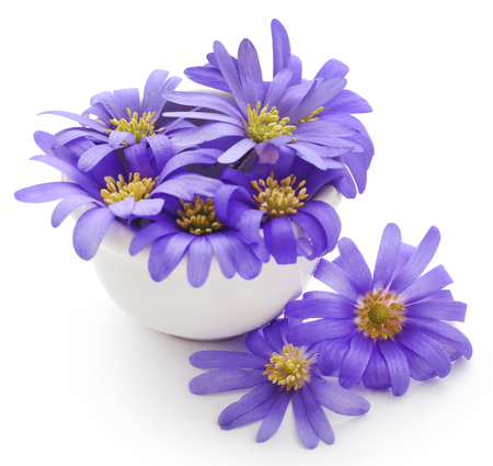Anemone Blanda Blue Shades or Grecian Windflowers over white