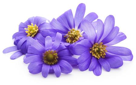 Anemone Blanda Blue Shades or Grecian Windflowers over white
