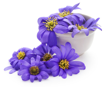 Anemone Blanda Blue Shades or Grecian Windflowers