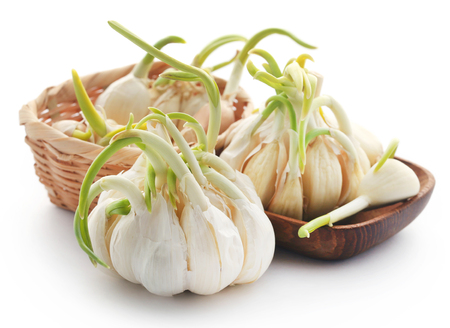 Garlic germinated over white background
