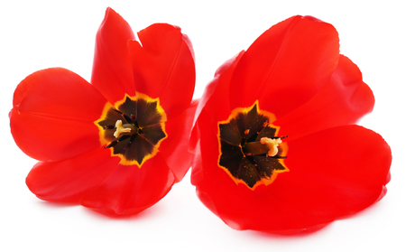 Closeup of fully bloomed tulip over white background Stock Photo