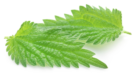 Green Nettle leaves that have many kinds of madicinal value over white background Stock Photo