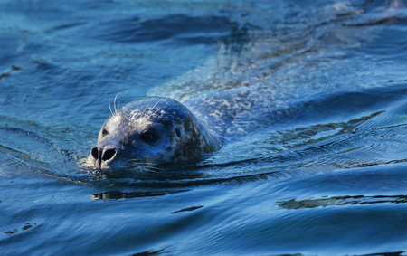 Harbor seal that found in temperate and Arctic marine coastlines