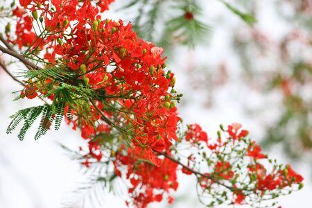 Delonix regia or Krishnachura outdoor in Bangladesh