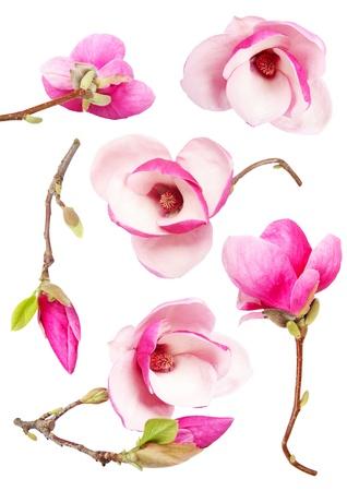 Beautiful fresh magnolia flowers isolated on white background