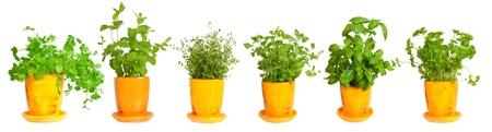 Fresh herbs in yellow pots. Mint, basil, thyme, parsley oregano and coriander