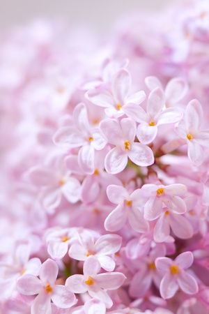 Beautiful lilac flowers close-up background