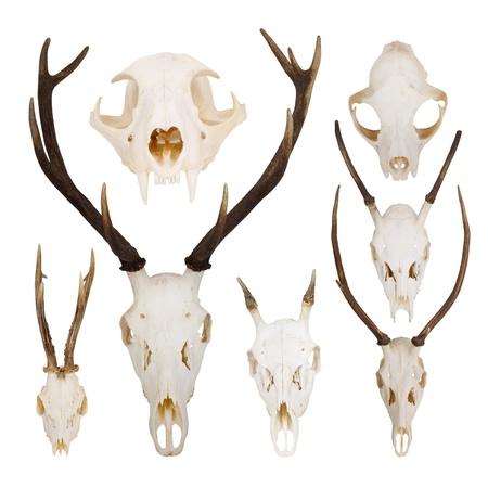 white tail deer: set of skulls Stock Photo