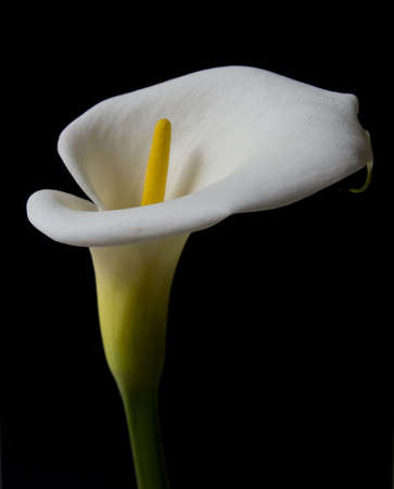 calla lily: LILY OF THE NILE 05