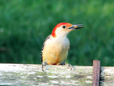 woodpecker on a weathered bench