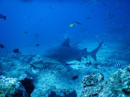 Bull shark in Fiji