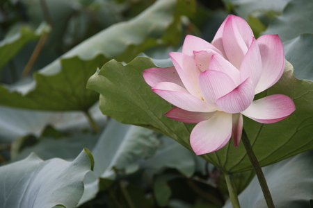 hydrophyte: Lotus flower Stock Photo