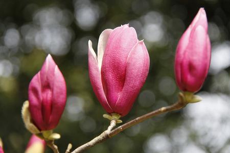 curare teneramente: Magnolia piattino Archivio Fotografico