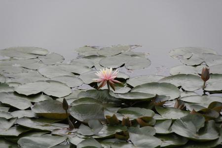 curare teneramente: Fiore di loto Archivio Fotografico