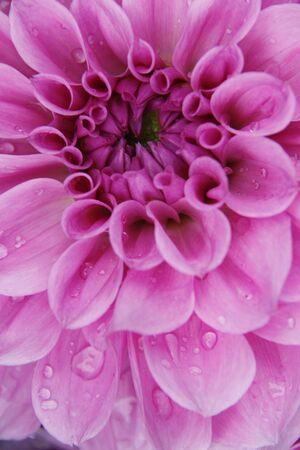 hydrophyte: Dahlia flower