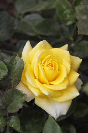 hydrophyte: Yellow rose