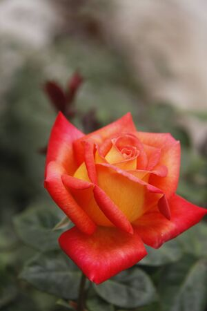 hydrophyte: Red rose Stock Photo