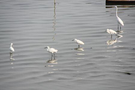 egrets: egrets at the lake Stock Photo