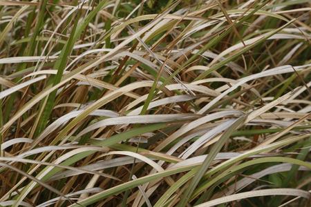 gramineous: Gramineous plants